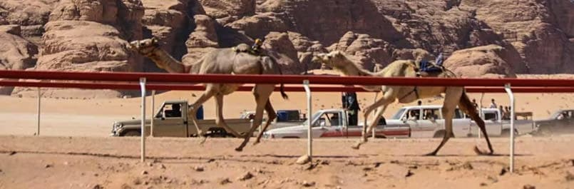 Camels racing on the track