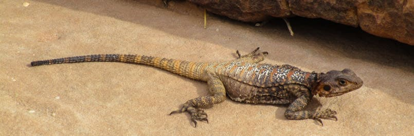 One of the amazing animals, the spiny tailed lizard in Wadi Rum desert