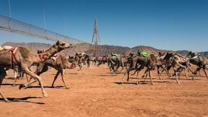 Start of a camels race on the track