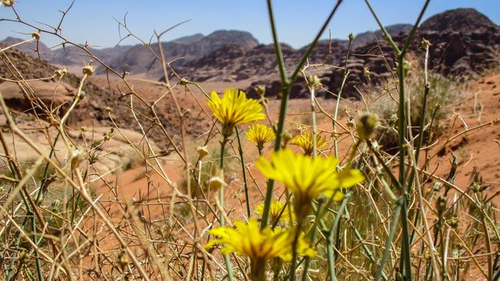 Spring in Wadi Rum desert, yellow flowers