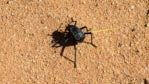 Beetle finding it's way in Wadi Rum desert