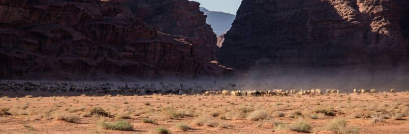 Sheep herd in Wadi Rum desert