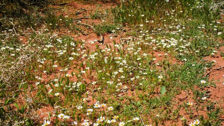 Flowering chamomile in Wadi Rum desert