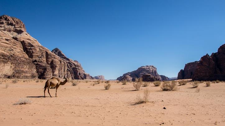 Camel in Wadi Um Ishrin