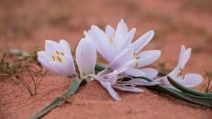 Beautiful white flowers mark springtime in Wadi Rum