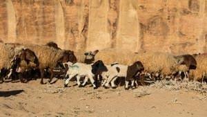 Lambs at springtime in Wadi Rum