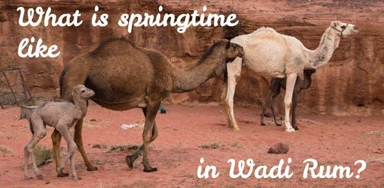 Springtime in Wadi Rum by the sight of young camels