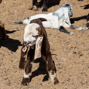 New-born goats at springtime in Wadi Rum