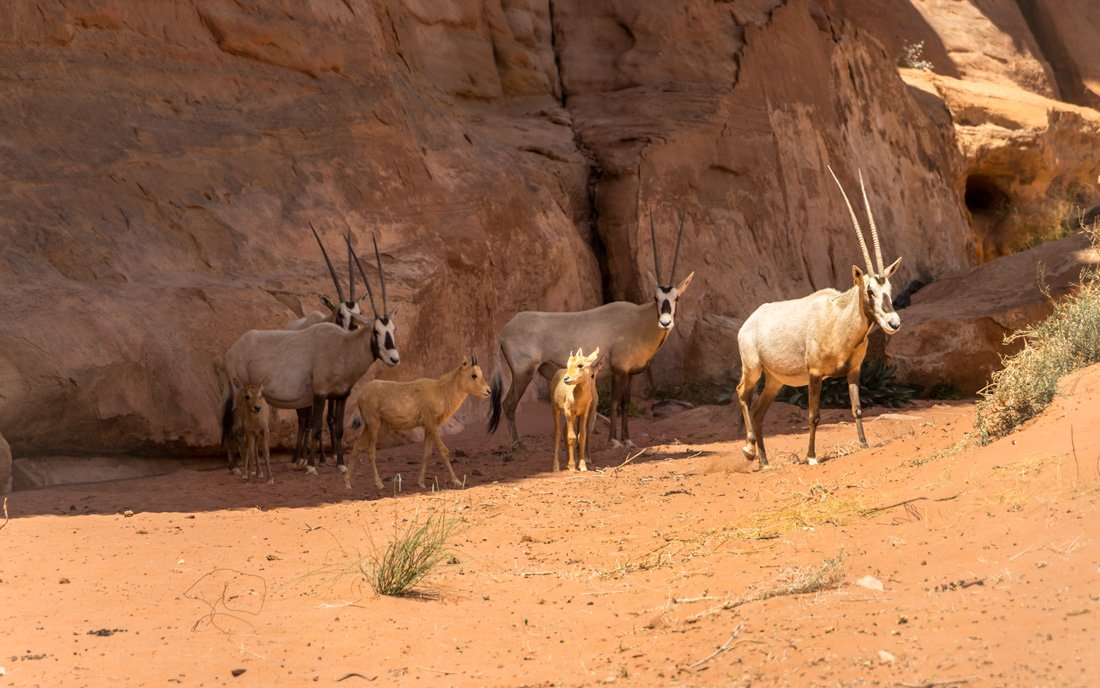 arabian oryx with young in wadi rum