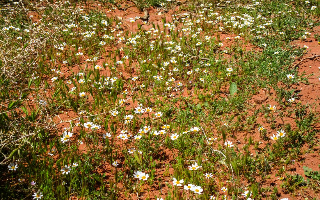 babounej/chamomile is used as bedouin medicine and can be found in wadi rum desert