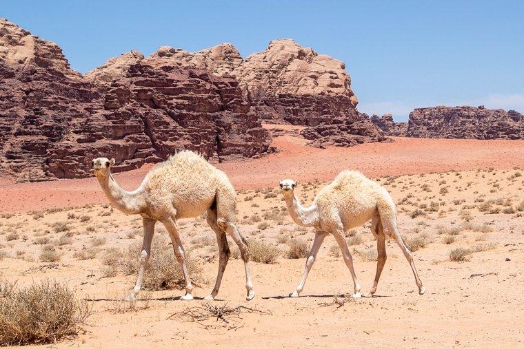 young camels roaming around wadi rum desert at springtime